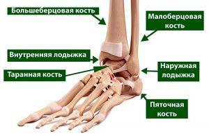 анатомия голеностопоного сустава