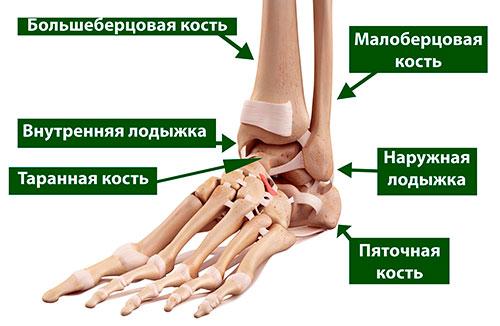 анатомия стопы голеностопа