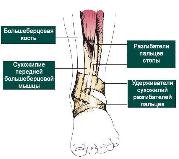 анатомия передней большеберцовой мышцы