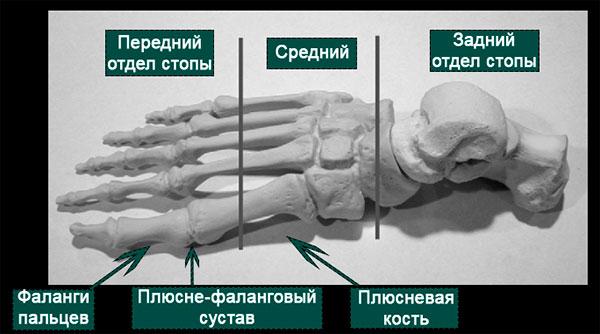 анатомия плюсне-фаланговых суставов