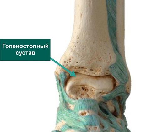 анатомия голеностопного сустава