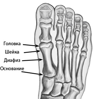 4 отдела плюсневой кости
