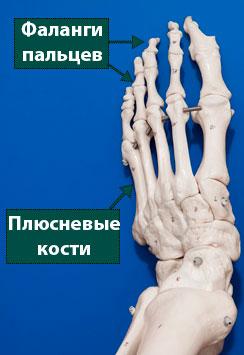 анатомия переднего отдела стопы