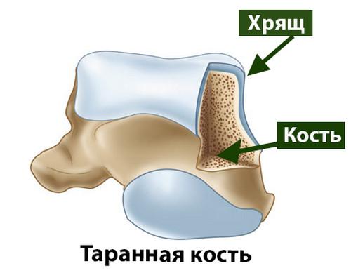 Хрящ голеностопного сустава