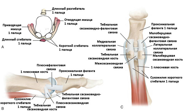 Анатомия 1-го плюснефалангового сустава