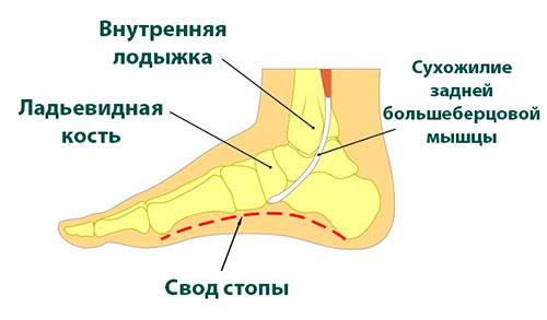анатомия сухожилия задней большеберцовой мышцы